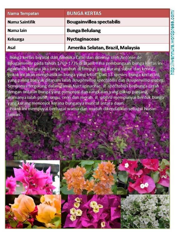 Bunga Kertas Bougainvillea Spectabilis Penghias Laman Wannura