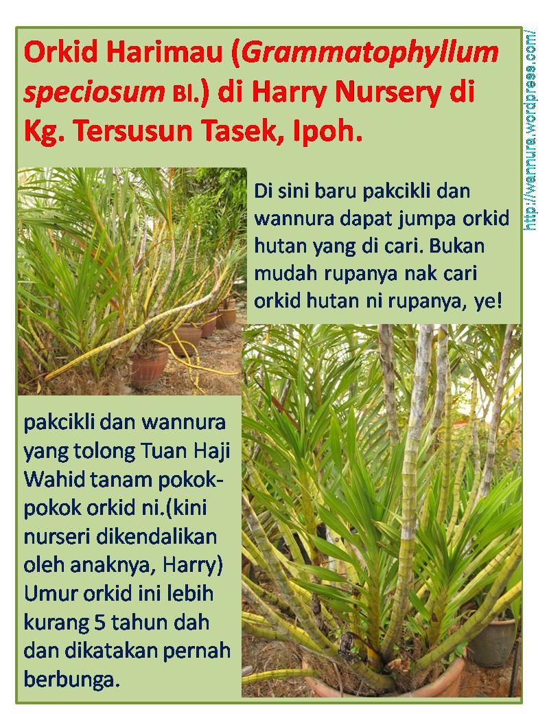 Orkid Harimau (orkid hutan) di Harry Nursery » orkid harimau di Harry