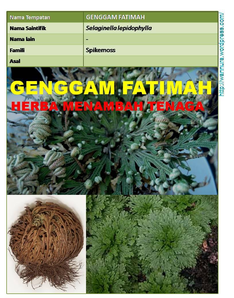 GENGGAM FATIMAH (Selaginella lepidophylla) MENAMBAH TENAGA
