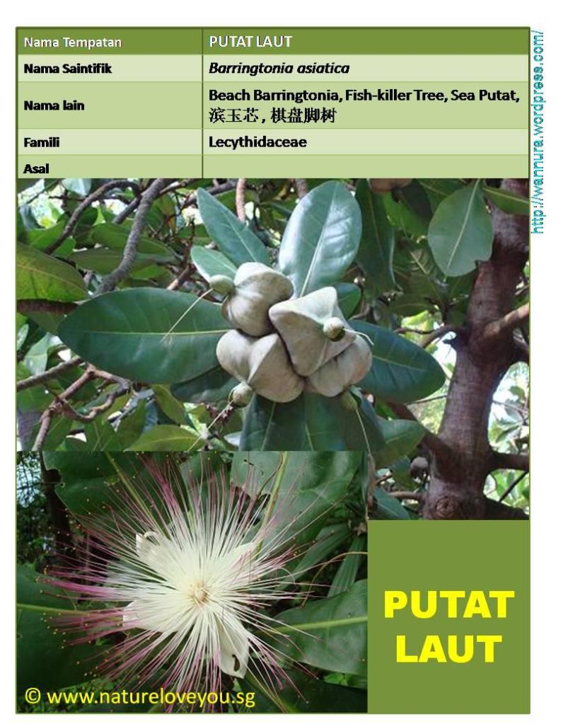 PUTAT LAUT (Barringtonia asiatica) BOLEH DIJADIKAN POKOK ...