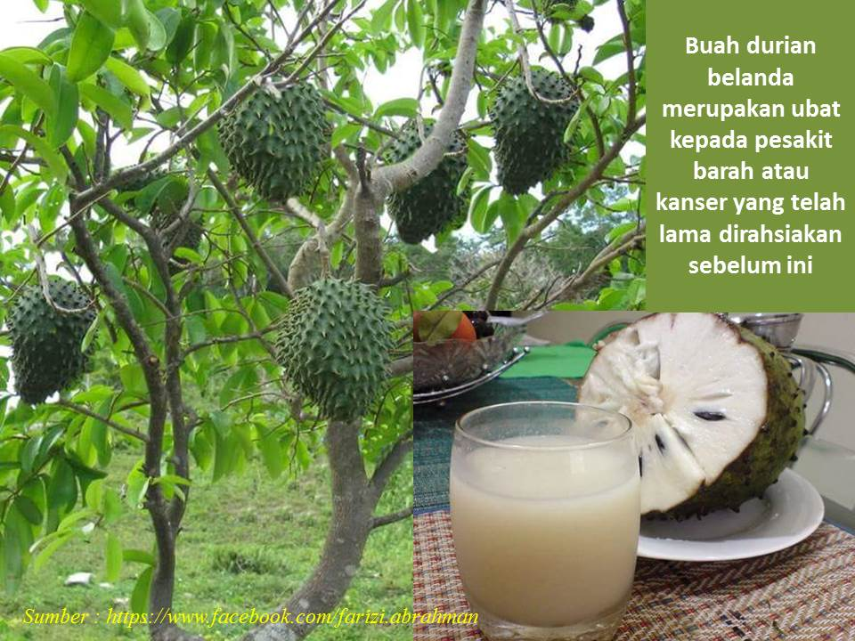 Durian belanda ubat kaanser